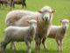Niedersachsen unterstützt Schaf- und Ziegenhalter mit Prämie