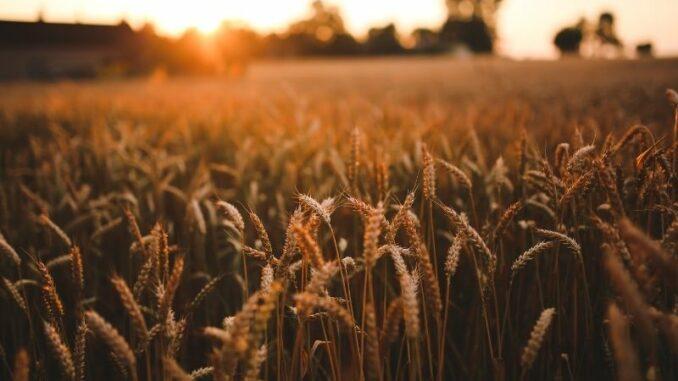 Die ersten endgültigen Ergebnisse der Landwirtschaftszählung 2020: Getreide weiterhin stärkste Anbaufrucht in Niedersachsen