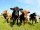 Viehbestände in Niedersachsen - Endgültige Ergebnisse der Landwirtschaftszählung 2020