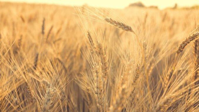 Landwirte in Niedersachsen von der Getreideernte 2021 enttäuscht
