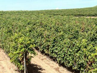 Endgültige Ergebnisse der Landwirtschaftszählung 2020: Weinbau in Niedersachsen